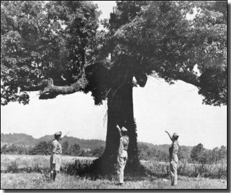 The Council Oak Tree